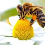 Ape su un fiore - l'estinzione delle api